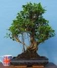 ficus-large-indoor-bonsai-tree