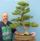 Japanese Needle Juniper Large Bonsai Tree