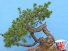Scots Pine Yamadori Bonsai Material