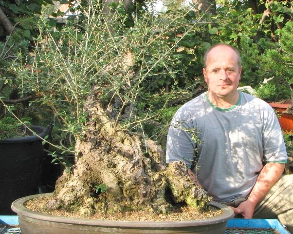 Big olive for bonsai