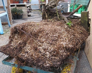 A lot of root and a lot of weight to deal with.