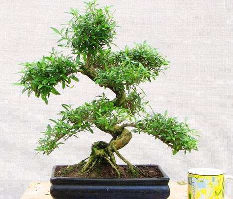 serissa bonsai
