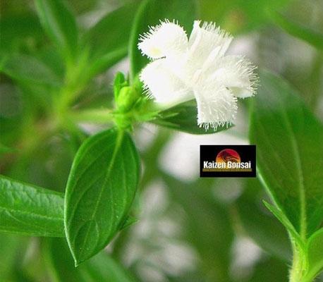 serissa flower