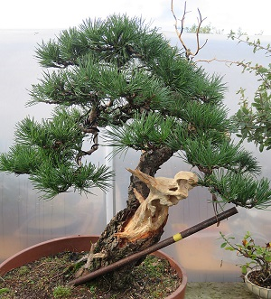 scots pine with mycorrhizal