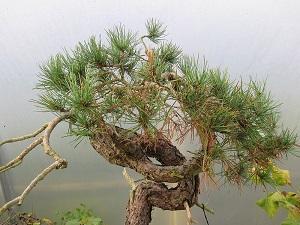 scots pine without mycorrhizal